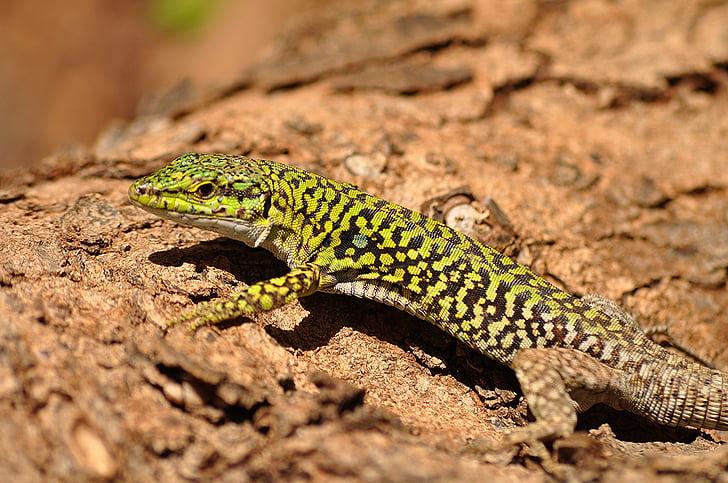 italienska Murödla, reptil, vilda djur, naturen, tittar just nu, Utomhus, Podarcis sicula