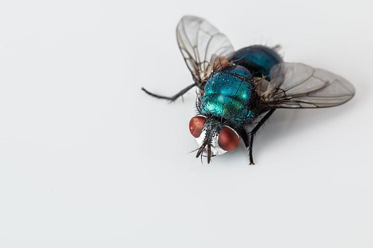 blowfly, Vaaleansininen pullo lentää, hyönteinen, Pest, bug, ruma, isku-fly