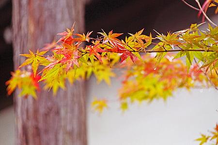 fall, autumn foliage, japanese maple, beautiful, red, maple leaves, autumn