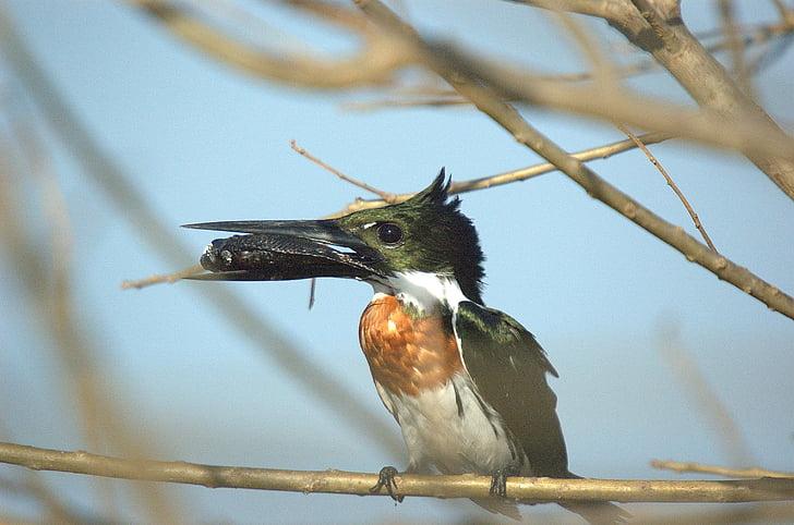 Vodomar, Llanos, ptica, životinja