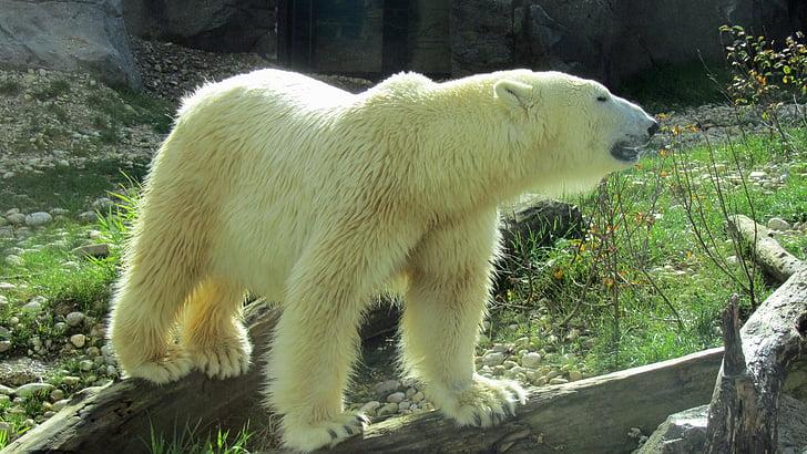 білий ведмідь, Хижак, ведмідь корпус