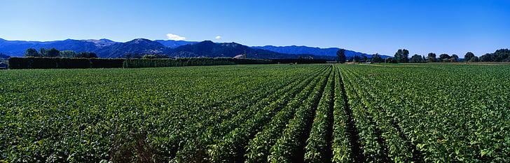 green tea plantation, deulbat, nature, agriculture, rural Scene, mountain, farm