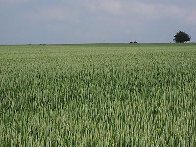 campo de trigo, trigo, espiga de trigo, campo de milho, pico, cereais, Verão