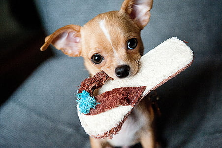 chihuahua, puppy, pet, dog, animal, small, funny