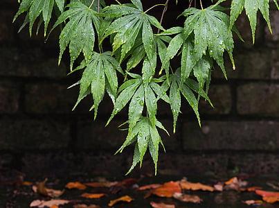 Acer, érable, feuilles, feuille, Wet, pluie, goutte à goutte