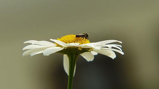 Camamilla, insecte, volar, planta medicinal, planta medicinal, herbes medicinals, Naturopatia