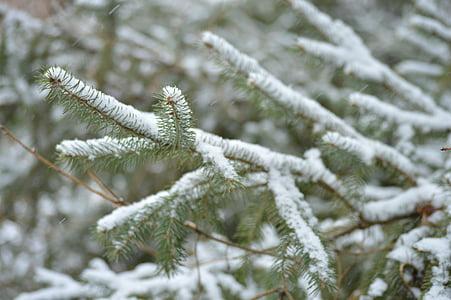 branches, evergreen, needles, winter, branch, tree, fir