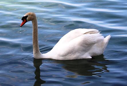 mute swan, swan, elegant, bill, plumage, lake, lake constance