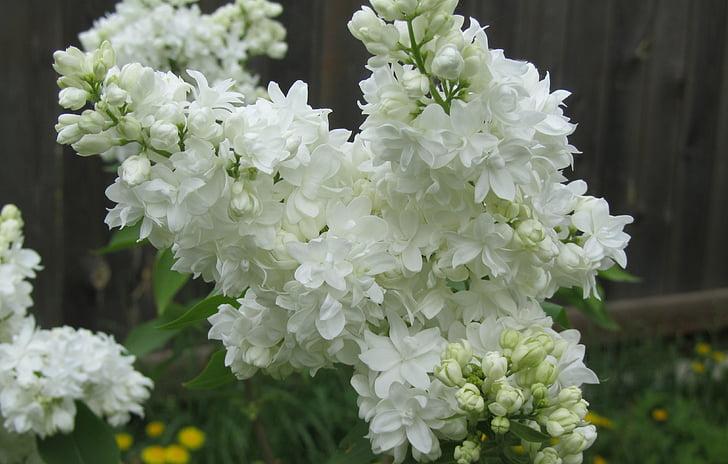 Cveće - Page 21 Lilac-flowers-shrub-white-preview