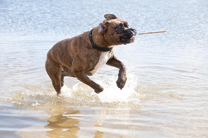 perro, agua, animal, palillo, Grip, verano, animales de compañía