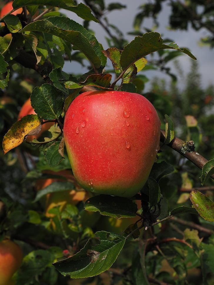 Poma, fruita, vermell, Frisch, pomera, Sa, vitamines