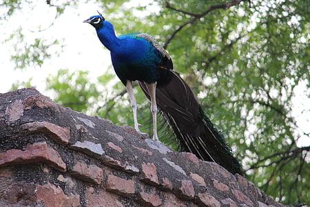 peacock, bird, bird of paradise