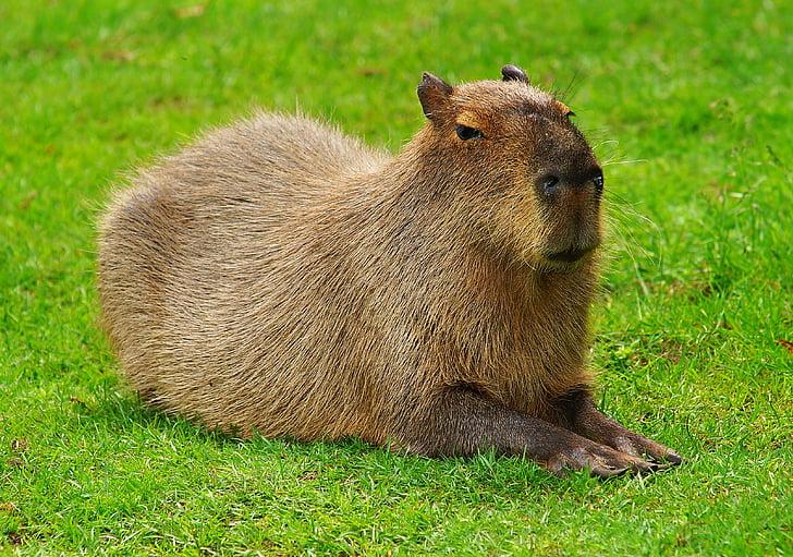 Kapibara, glodavaca, zamorac, vrste glodavaca, slatka, slatki, izgled