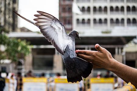 duva, fågel, flygande, Husdjur, djur, djur wing, Dove - fågel