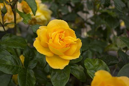 tõusis, lill, loodus, Aed, roos õitseb, õis, Bloom