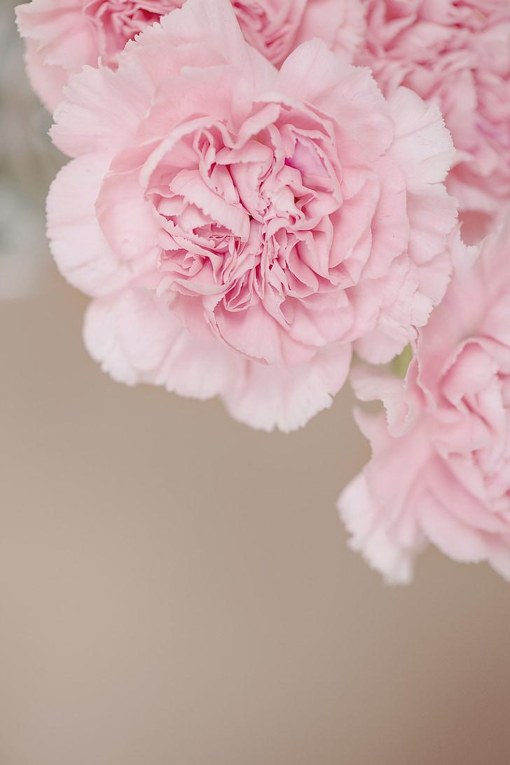 cloves, flower, pink, pink flowers, carnation pink, flowers, petals