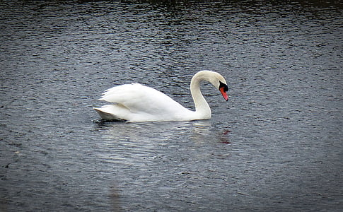 swan, water bird, swans, animal, bird, nature, fauna