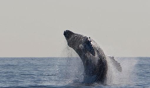 humpback whale, jumping, breaching, ocean, mammal, marine, spray