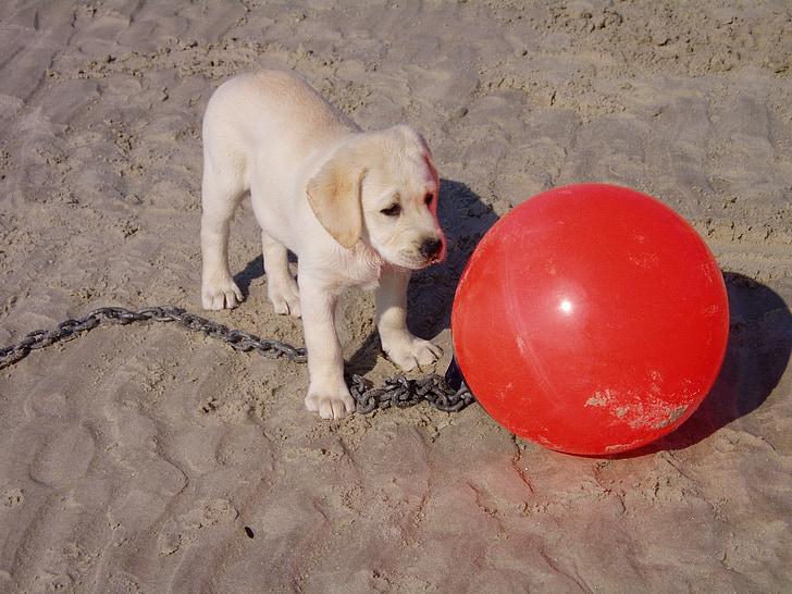 suns, kucēns, sarkana, pludmale, marķieris