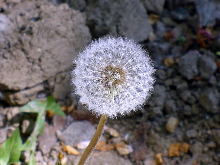 võilill, valgus, valge, seemne, lill