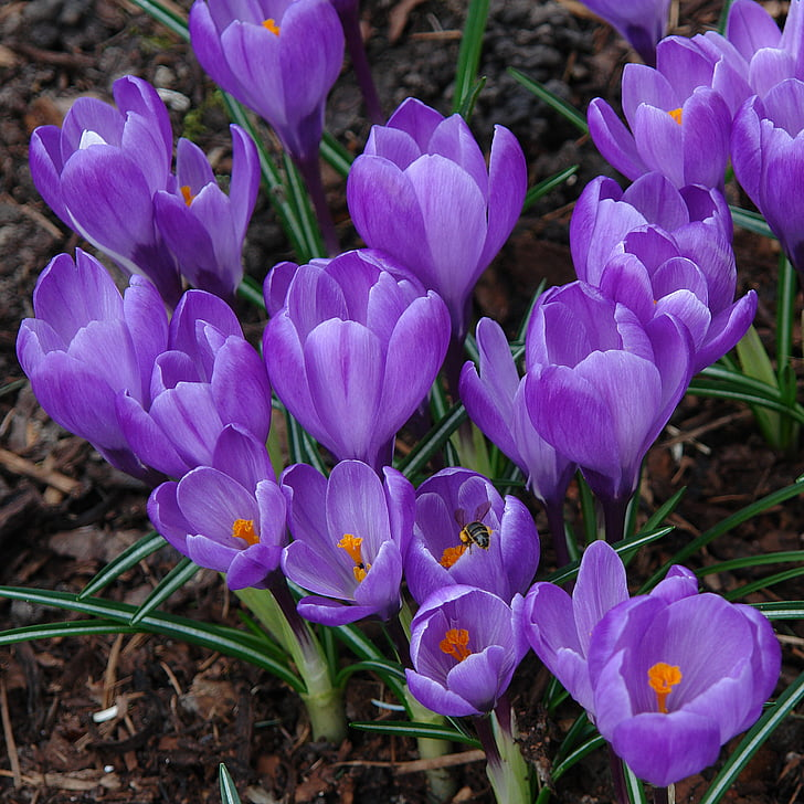 safrà, planta, jardí, porpra, color, pètal