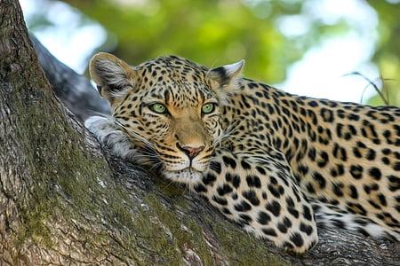леопард, дива котка, голяма котка, Ботсвана, Африка, сафари, делтата на Окаванго