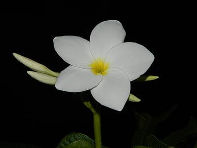 bunga, alam, putih, mekar, hijau, tanaman, murni