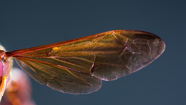 Hornet-siipi, Hornet, hyönteinen, makro, siipi