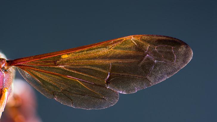 шершень крило, шершень, Комаха, макрос, крило
