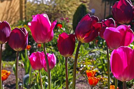 tulbid, punased tulbid, punane, lill, kevadel, loodus, lilled