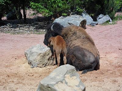 buffalo, animal, young animal