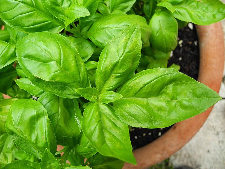 bazalka, Herb, korenie, zeleň, rastlín, chuť, Zelená