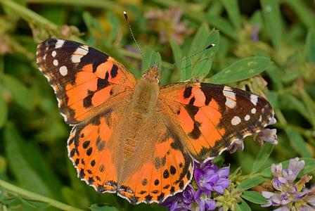 vlinder schildpad, vlinders, Distelvlinder, insect, bloem, Oranje, vlinder - insecten