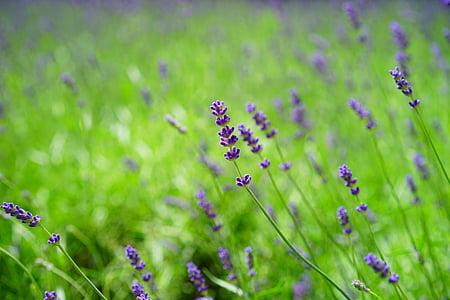 lavender, lavender field, flowers, purple, wild plant, wildblue, lavender flowers