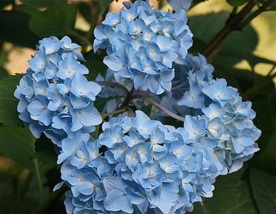 Hortènsia blava, Hortènsia, flor, planta, flor, flor, jardí