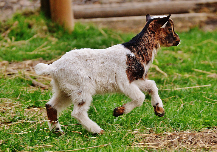 goat, wildpark poing, young animals, playful, romp, cute, small