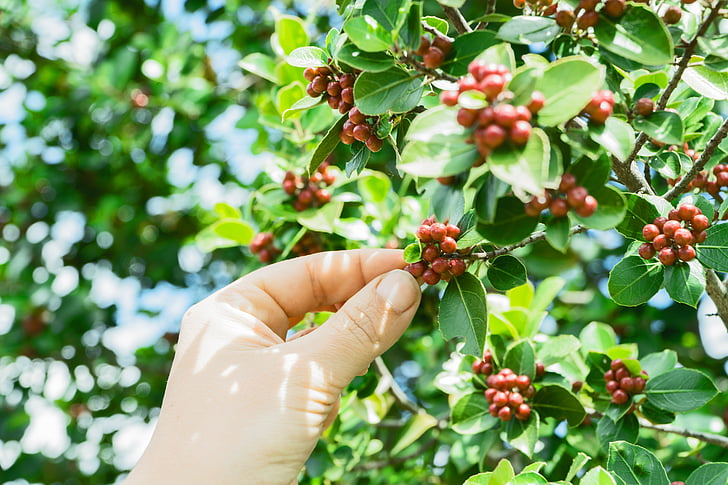 coffea, coffee, coffee beans, coffee plant, hand, picking, shrub