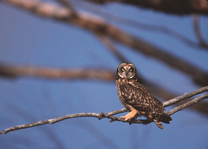 short eared owl, bird, portrait, sitting, wildlife, predator, nature