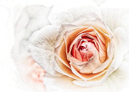 Gül, pembe, Kapat, çiçeği, Bloom, çiçek, Flora