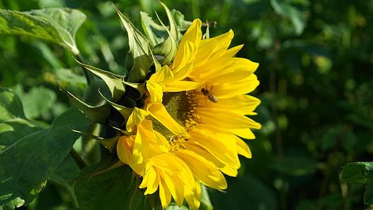 Sun flower, päevalill, lilled, suvel, kollane, Helianthus, päike