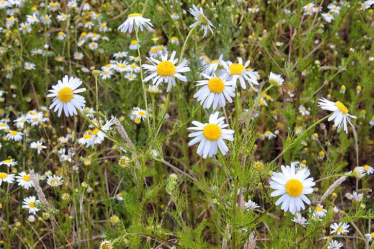 camomila, flores de camomila, ervas medicinais, planta medicinal, na estrada, borda do campo