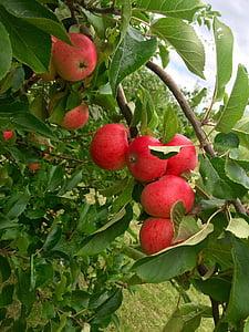 Apple, Õunapuu, punane õun, puuviljad, puu