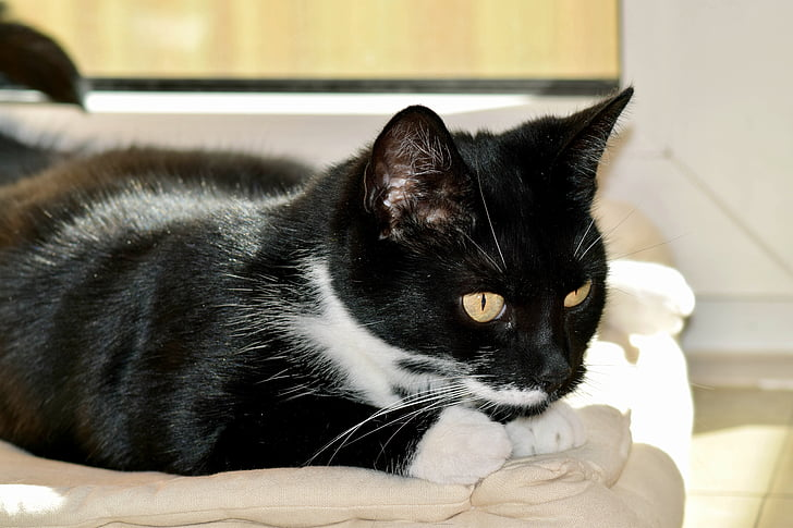 katt i lekfulla humör, svart och vit katt, på den lurar