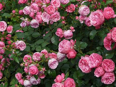 Rosa, Rosa, flor rosa, Roses, floribunda, pomponella, umbel