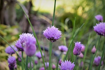 cibulet, flor, flor, porpra, verd, planta, herba