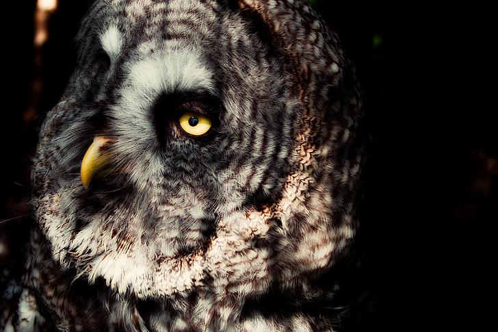 Lapin pöllö, Pöllö, silmät, nokka, petolintu, Luonto, pöllöt