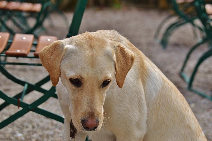 Labrador, cane, dolce, sedersi, animale, animale domestico, caro