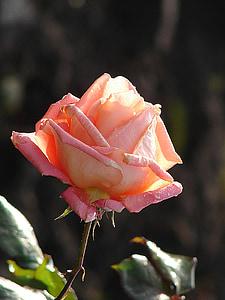上升, 玫瑰, 花, 花, 开花, 绽放, 玫瑰绽放