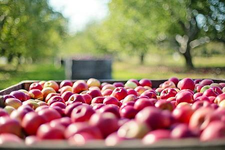 õunad, sügisel, Sügis, puu, loodus, toidu, saagi