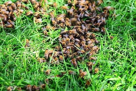 abelles de mel, abelles, herba, gespa, close-up, molts, rusc